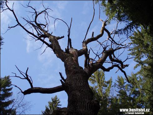 Velechvín – Žižkův dub nedaleko této vesnice